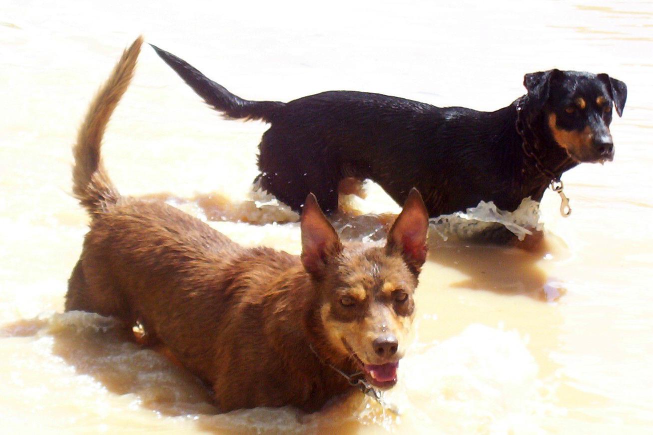 Working Dogs - by Heather Elliott, Glenample, Aramac 2007